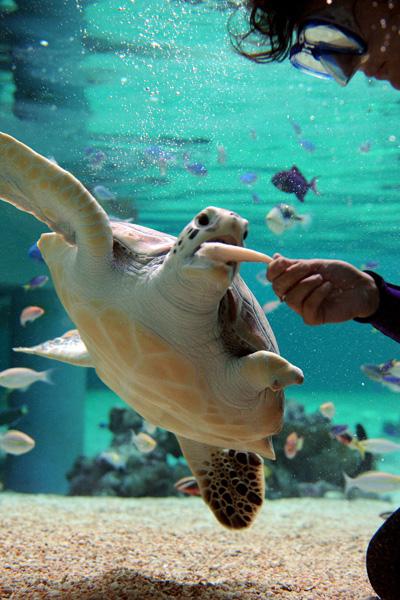 Élni tanul a sérült teknős