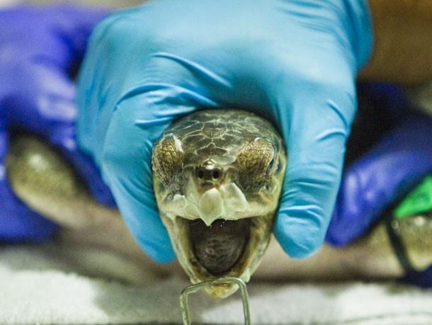 Fészkelő teknősökkel követik az olajkatasztrófa hatásait