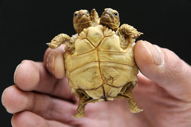 Két teknős egy teknőben