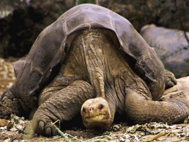 Kihalhat a világ legritkább állata, ha nem jut gyorsan nőstényhez