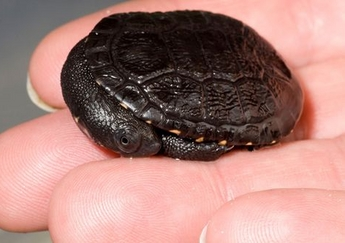A mosolygó pápua teknősbébi