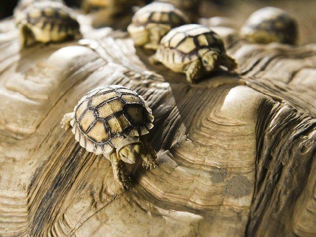Gyönyörű képek - 8 pici sarkantyús teknős született Nyíregyházán