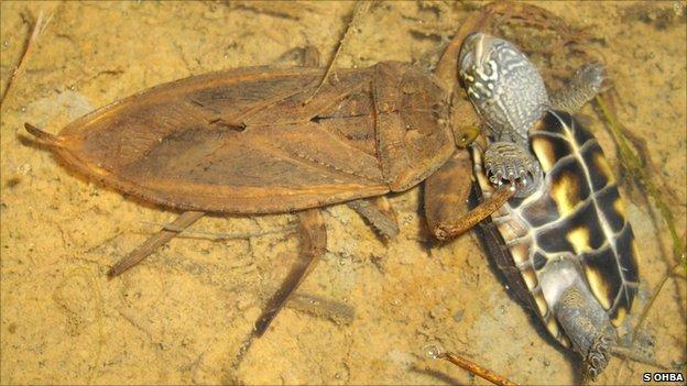 Teknőst eszik egy bogár