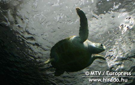 Egy új módszer a tengeriteknős-bébik követésére