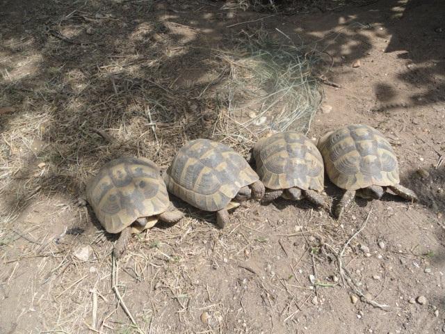Görög teknős (Testudo hermanni), beküldte: Roszkopf Sándor