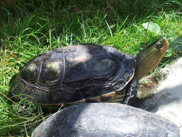 Kínai csíkosnyakú teknős