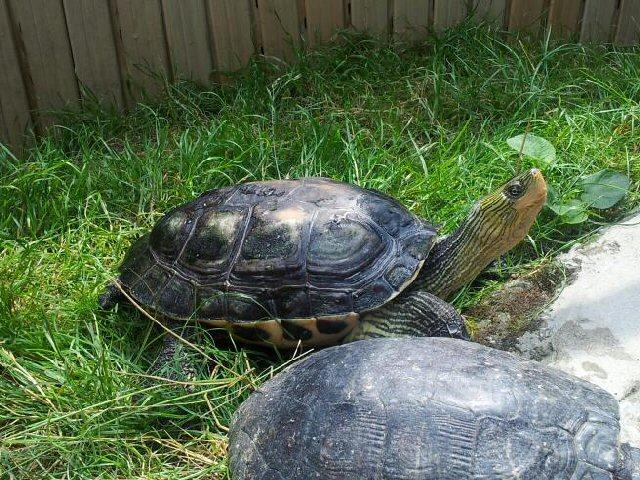 Kínai csíkosnyakú teknős (Ocadia sinensis)