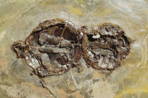 Párzás közben pusztulhatott el egy ősi teknőspár