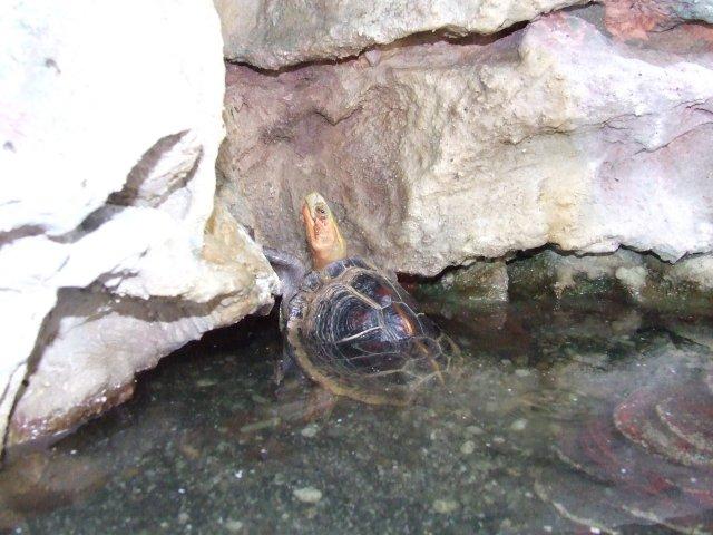 Sárgaszegélyű szelenceteknős