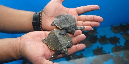 Egy indonéz reptéren rengeteg teknőst találtak