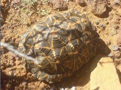 Dél-Afrika ritka szárazföldi teknősét kutyákkal keresik