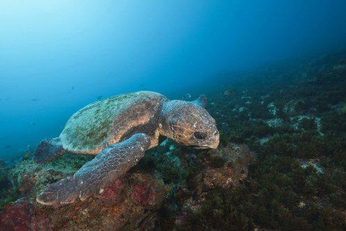 A mágneses mezőkkel találnak haza a tengeri teknősök