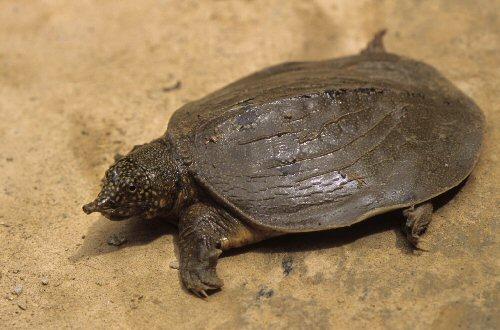 Elkészült a teknősök új családfája