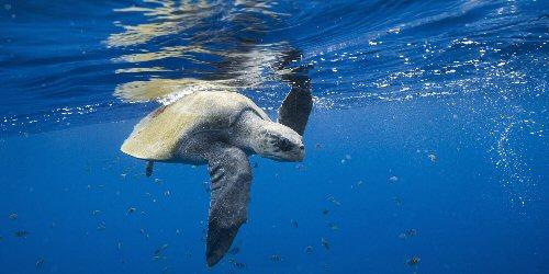 Egyre több tengeri állatot fenyeget az emberi eredetű hulladék