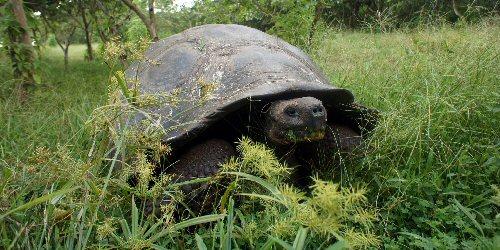Kedvelik a behurcolt növényeket a galápagosi óriásteknősök