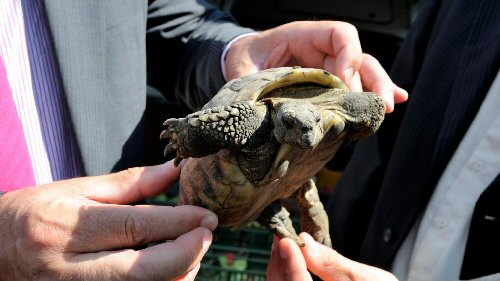 Lefoglalt görög teknősöket juttatnak vissza élőhelyükre