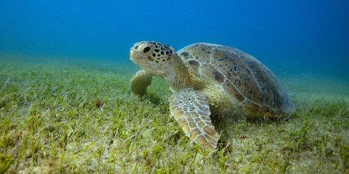 Teknősökkel vizsgálták a tengerifüvek állapotát