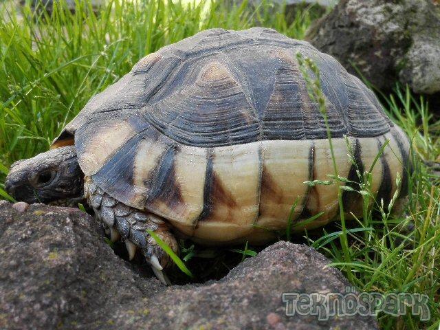 Szegélyes teknős