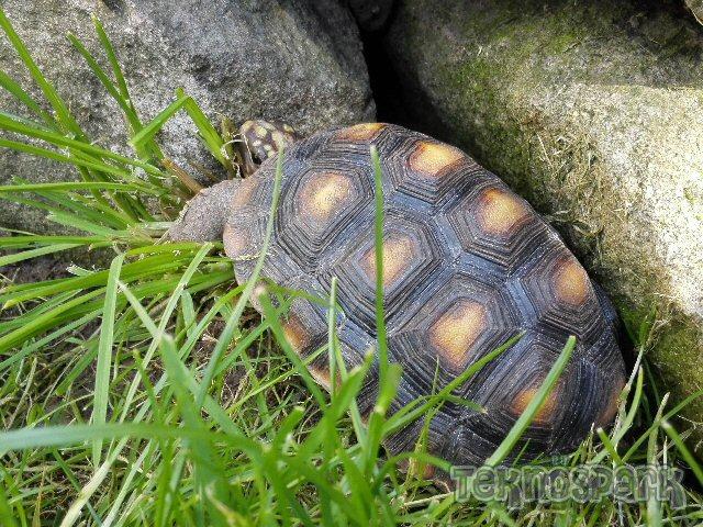 Fekete vagy szenes teknős