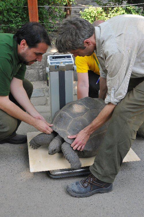 Nyilvános teknősmérést tartottak a fővárosi állatkertben