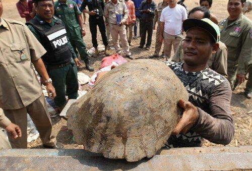 Teknősöket és pitonokat mentettek Kambodzsában