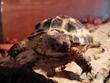 Kirgiz (sztyeppi) teknős